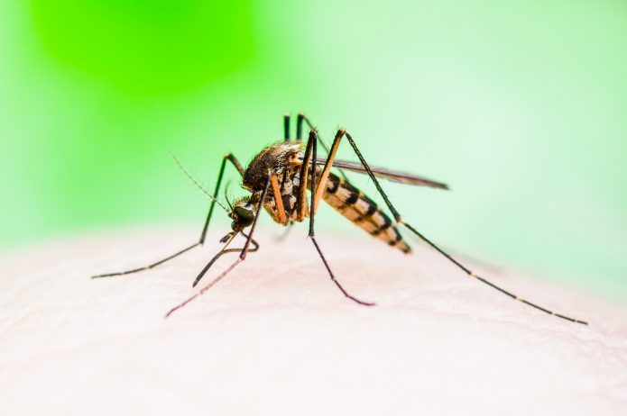 Komar przenoszący malarię