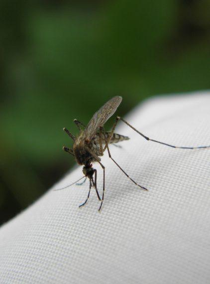 Dirofilarioza – przyczyny i skutki zakażenia pasożytniczymi nicieniami